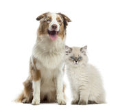 British Longhair kitten and Australian Shepherd sitting Stock Image