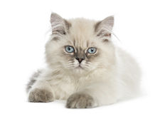British Longhair kitten lying, looking at the camera Royalty Free Stock Images