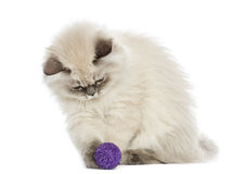 British Longhair kitten playing with a ball, 5 months old Stock Photos