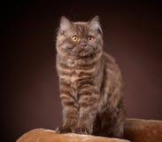 British longhair kitten Royalty Free Stock Image