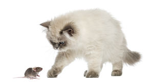 British Longhair kitten reaching at a mouse, isolated. On white stock image