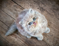 British longhair kitten sitting and looking up Royalty Free Stock Photo