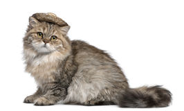 British Longhair kitten wearing straw hat sitting Royalty Free Stock Photo