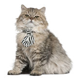 British Longhair kitten wearing a tie sitting Royalty Free Stock Photos
