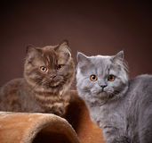 British longhair kittens Royalty Free Stock Photos