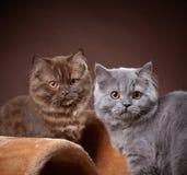 British longhair kittens Royalty Free Stock Photos