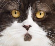 British Longhair looking at the camera Royalty Free Stock Image
