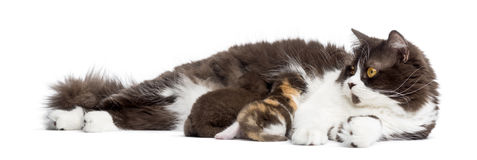 British Longhair lying, feeding its kittens, isolated Royalty Free Stock Photo