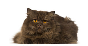 British Longhair lying and looking away Stock Photo