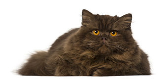 British Longhair lying and looking away Royalty Free Stock Photo