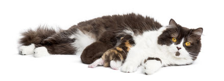 British Longhair lying looking at the camera, feeding its kitten Royalty Free Stock Photo