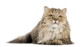 British Longhair lying, looking up, isolated Royalty Free Stock Images