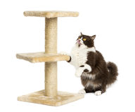 British longhair preparing to jump on a cat tree Royalty Free Stock Photography