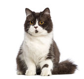 British longhair sitting Royalty Free Stock Images