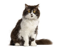 British Longhair sitting, facing, isolated Royalty Free Stock Photography