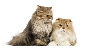 British Longhair sitting and Highland Fold lying, isolated Royalty Free Stock Photography