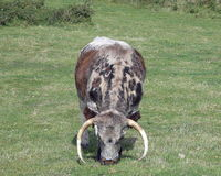 British Longhorn Cattle Stock Images