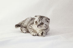 British lop-eared gray kitten is lying. On a white background Stock Photo