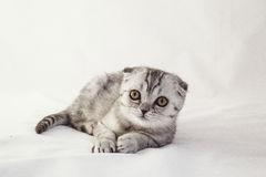 British lop-eared gray kitten is lying. On a white background Royalty Free Stock Photo