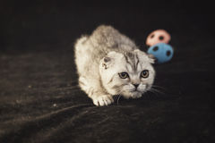 British lop-eared gray kitten is sneaking up. Along small footballs on a black background Stock Photos