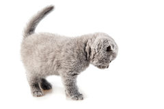 British lop-eared kitten Stock Photography