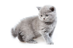 British lop-eared kitten Stock Image