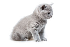 British lop-eared kitten Royalty Free Stock Photo