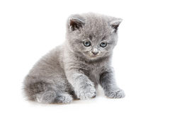 British lop-eared kitten Royalty Free Stock Images