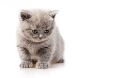 British lop-eared kitten Royalty Free Stock Photos