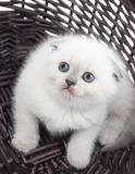 British lop-eared kitten looking up. Sitting in a wicker basket Royalty Free Stock Photos