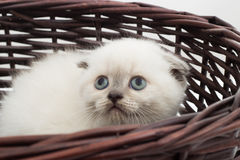 British lop-eared kitten Royalty Free Stock Image