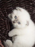 British lop-eared kitten Stock Images