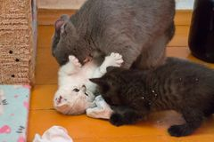 British Mama cat plays with her kittens Royalty Free Stock Images