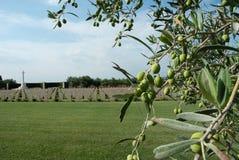 British military memorial and olive tree Stock Photo