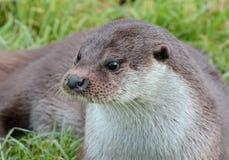 British Otter Stock Image