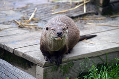 British Otter Stock Image