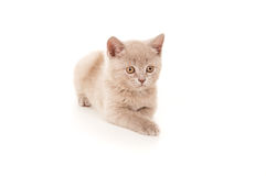 British pedigreed cat lying isolated Royalty Free Stock Images
