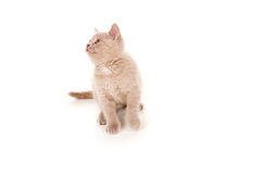 British pedigreed kitty Royalty Free Stock Image