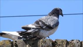 British pigeon pigeons birds bird pets pet animals wild wildlife pests vermin urban roosting nesting roost