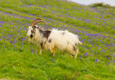 British Primitive goat breed large horns beard and bluebells Royalty Free Stock Image