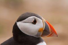 British Puffin Seabird & x28;Fratercula arctica& x29; from Skomer Island, Royalty Free Stock Photo