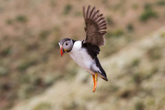 British Puffin Seabird & x28;Fratercula arctica& x29; from Skomer Island, Stock Image