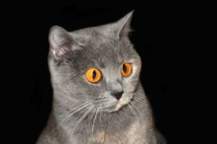 Scared Cats look at me. British purebred cat. Gentle home Pets Animals stock photo