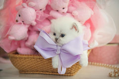 British purebred kitten in a basket Stock Photo