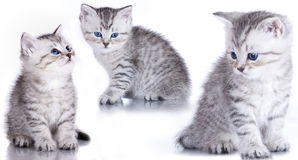 British purebred kitten  close-up Royalty Free Stock Image