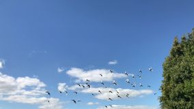 Racing pigeons fly past in slow motion. British racing pigeons fly past in a blue sky in slow motion stock footage