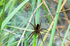 British Raft spider protecting her nest Royalty Free Stock Photos