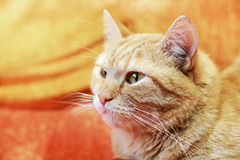 British red cat. Portrait of fluffy ginger pet. Royalty Free Stock Image