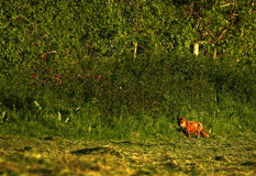 British Red Fox Royalty Free Stock Photo
