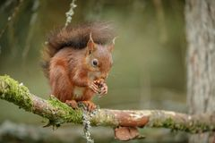 British red squirrel Royalty Free Stock Photos